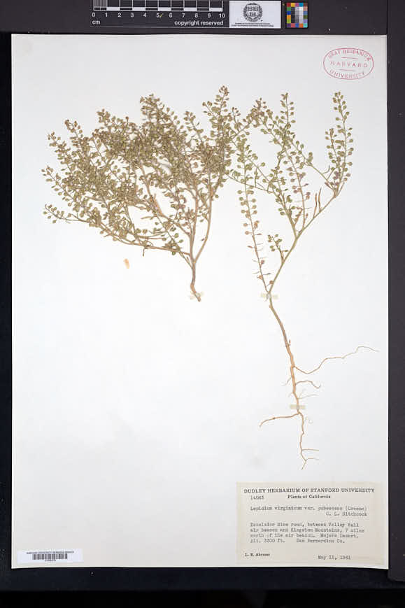 Lepidium densiflorum var. ramosum image