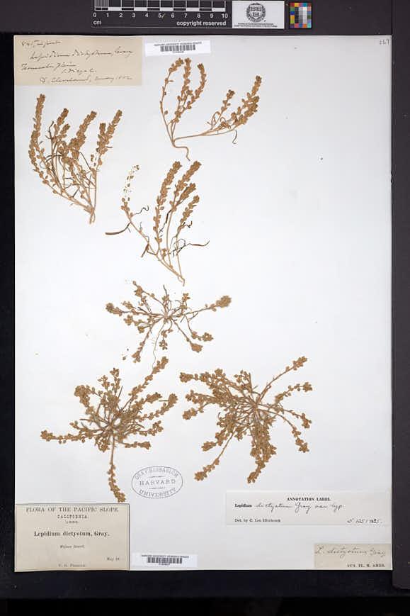 Lepidium dictyotum image
