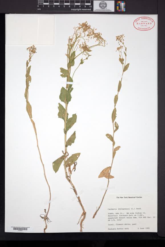 Lepidium chalepense image