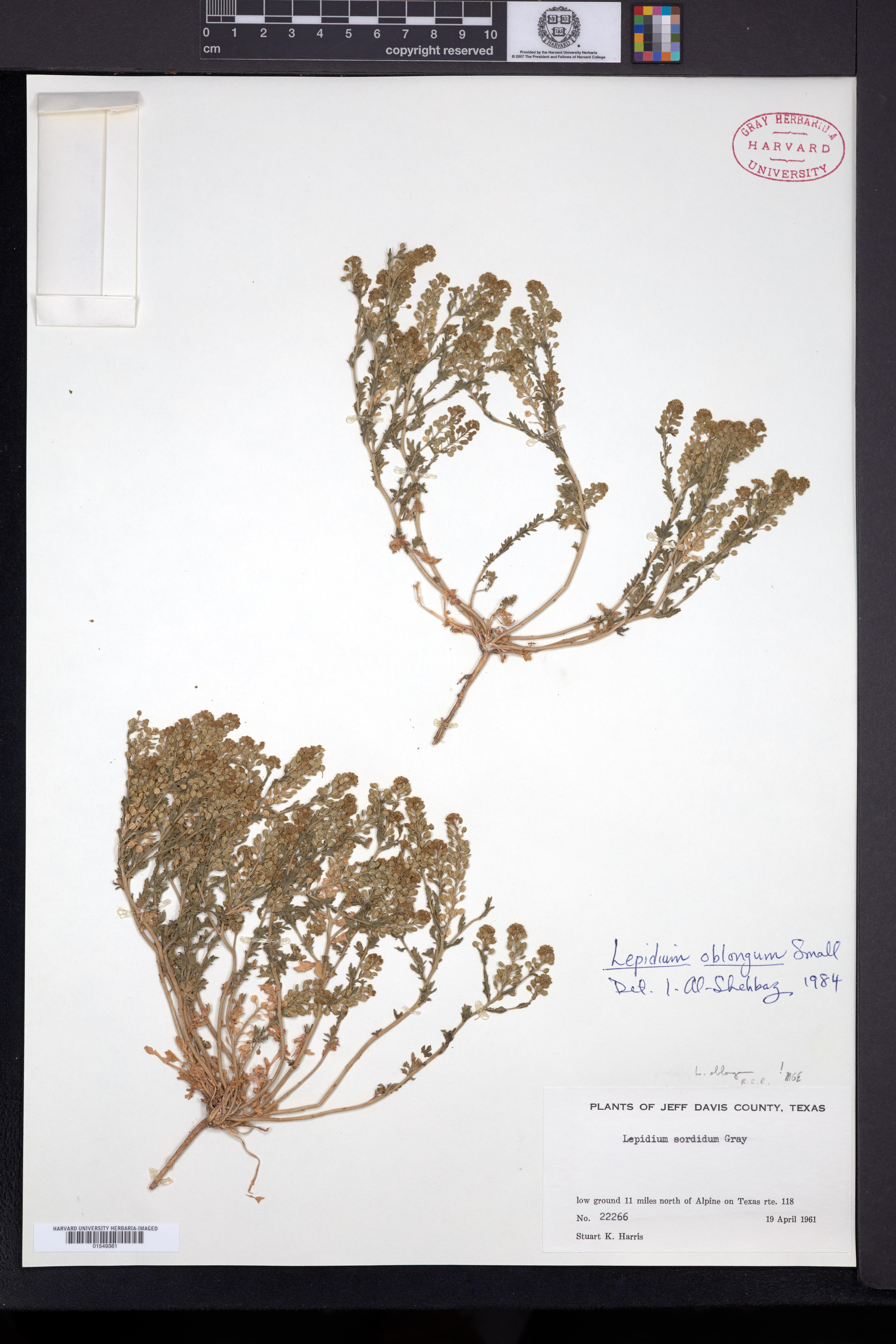 Lepidium oblongum image