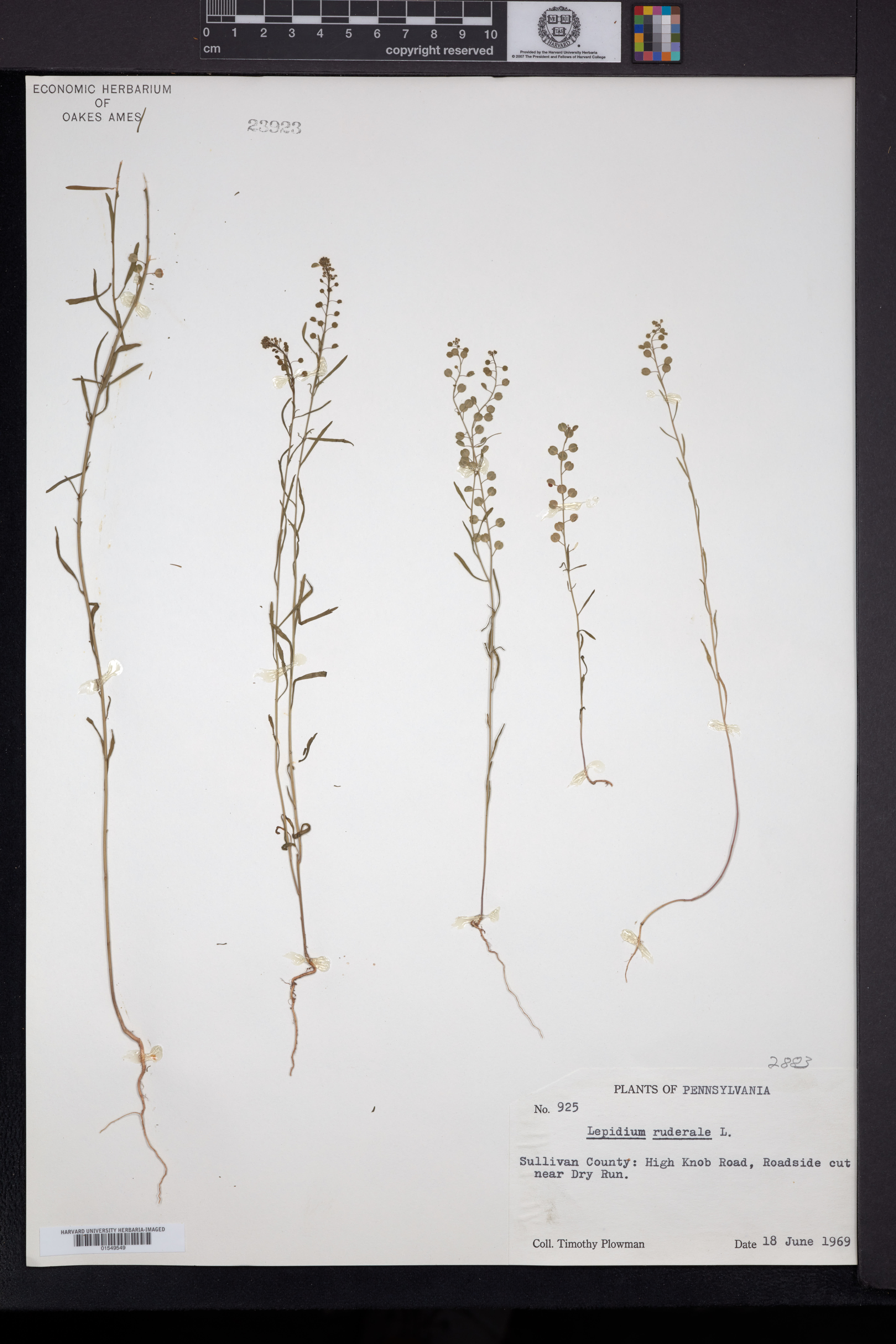 Lepidium ruderale image