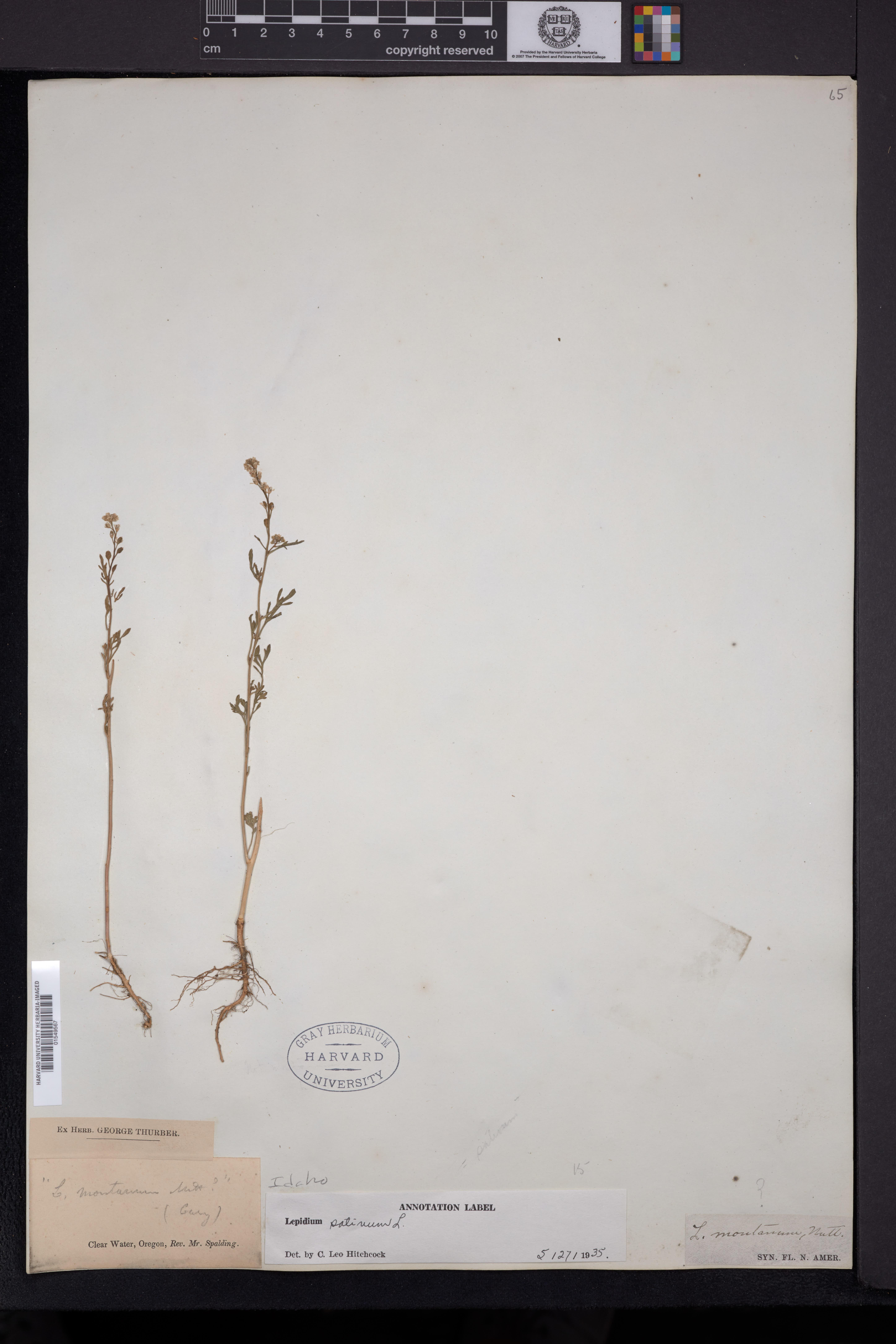 Lepidium sativum image