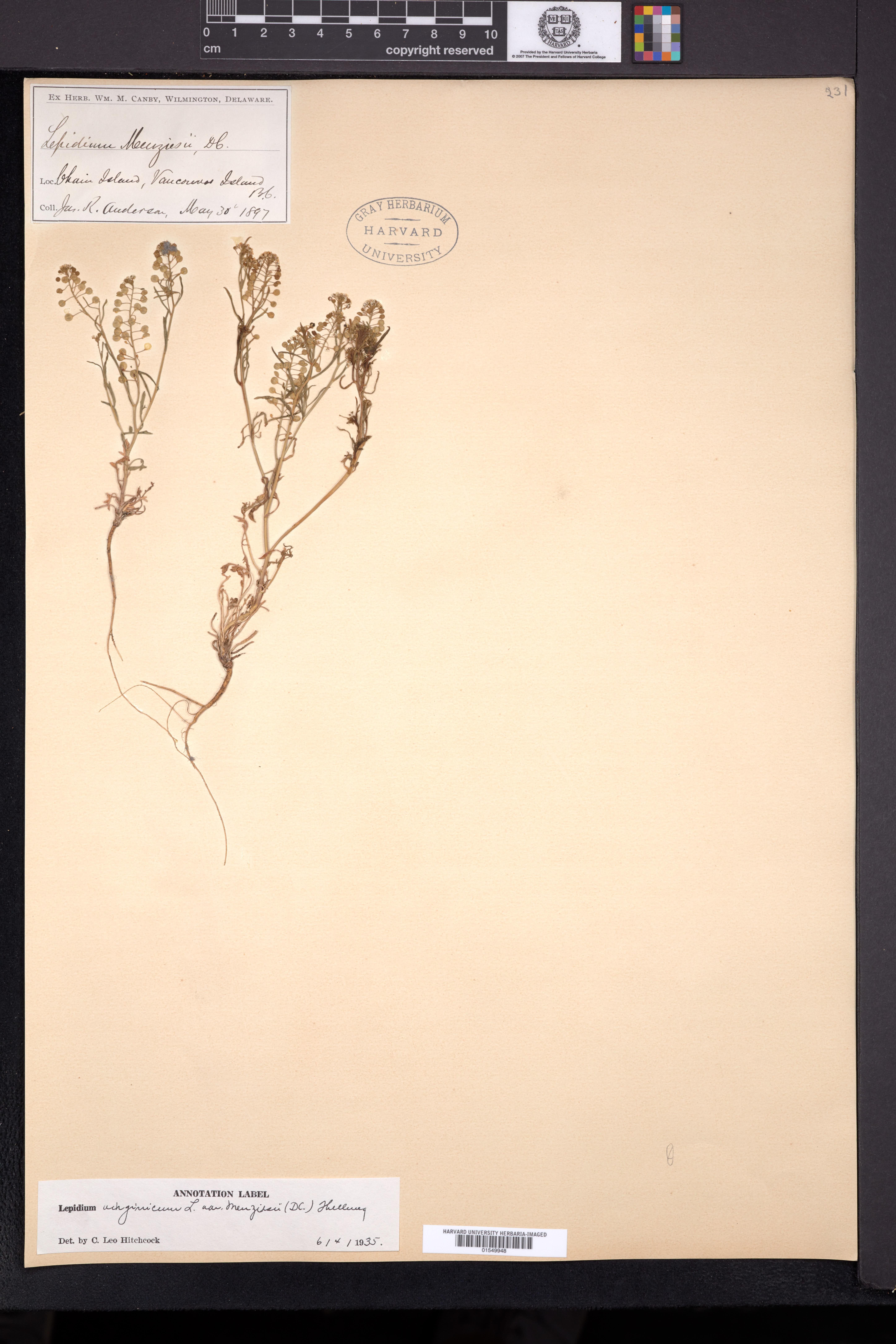 Lepidium virginicum var. menziesii image