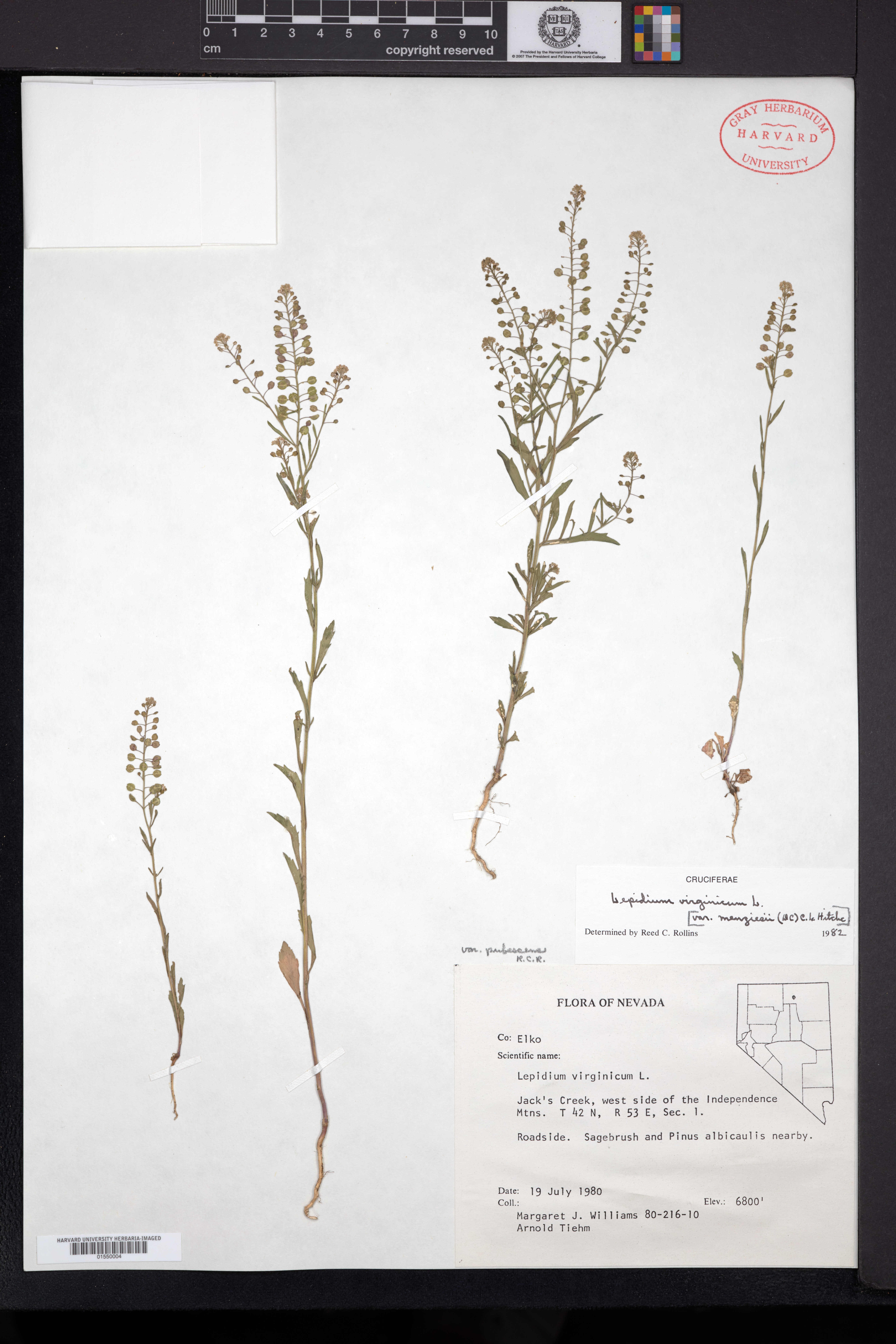 Lepidium virginicum var. pubescens image