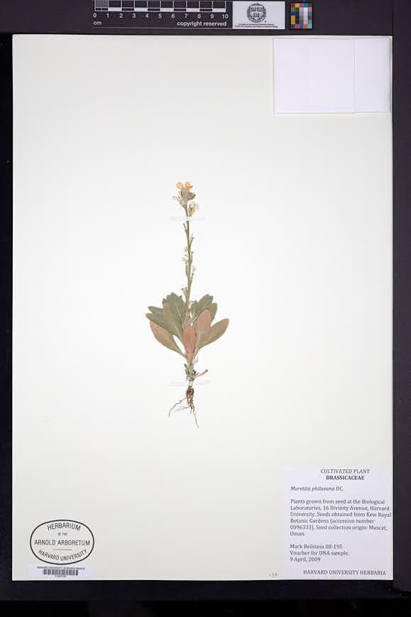 Image of Morettia philaeana