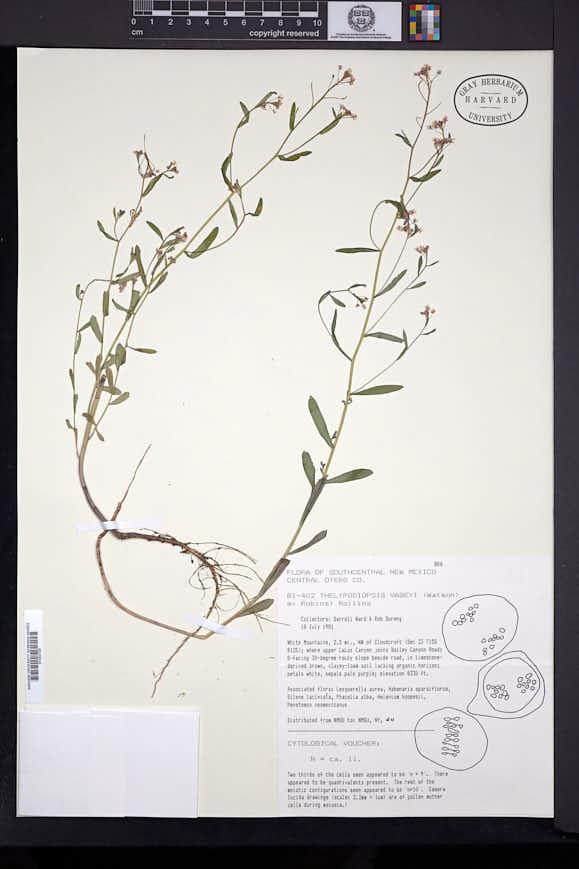 Image of Mostacillastrum subauriculatum