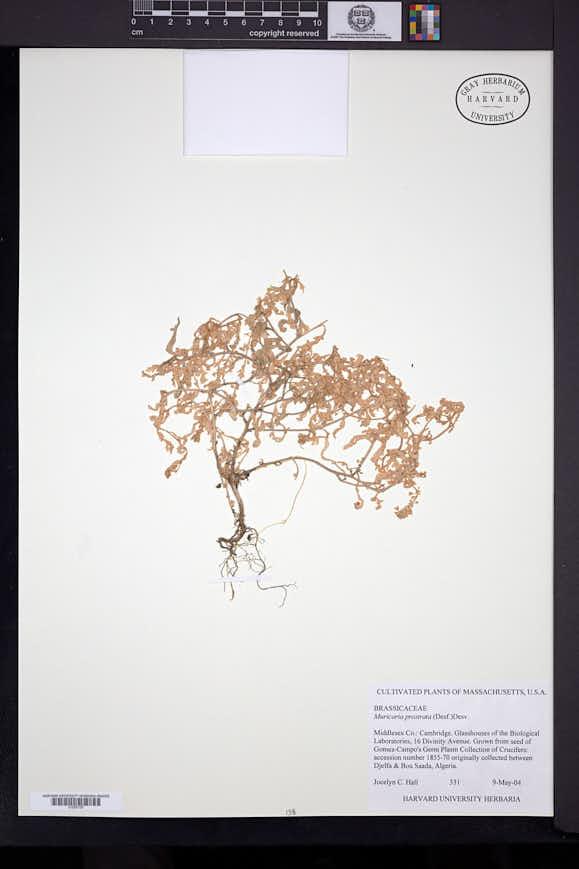 Image of Muricaria prostrata