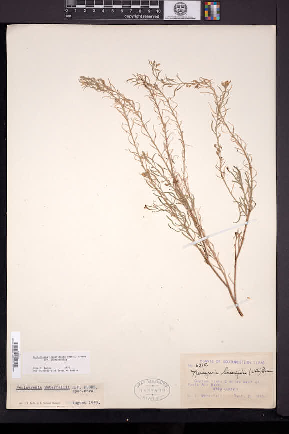 Nerisyrenia linearifolia image