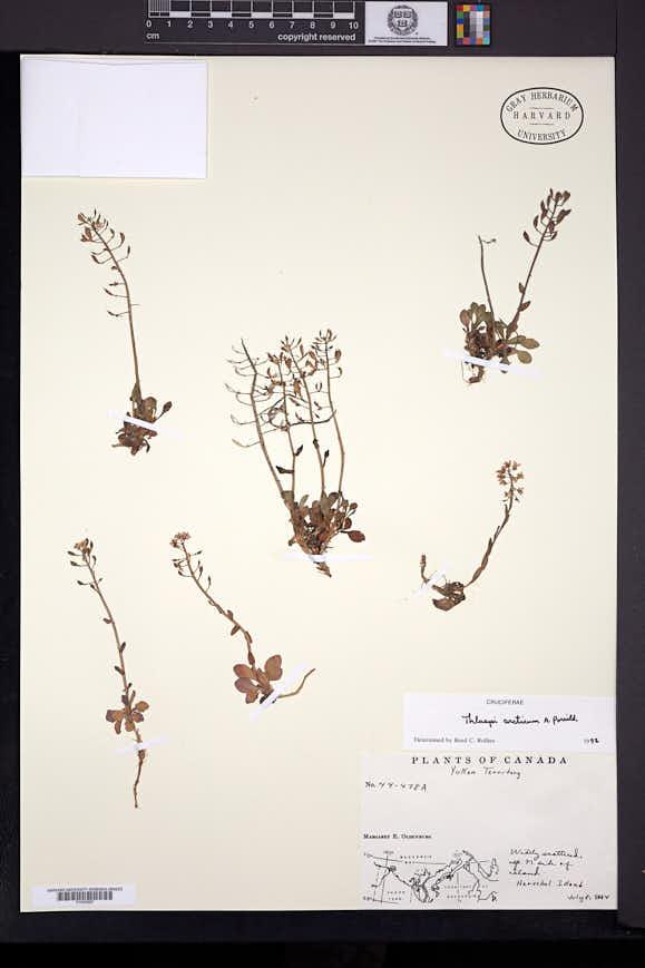 Image of Noccaea arctica