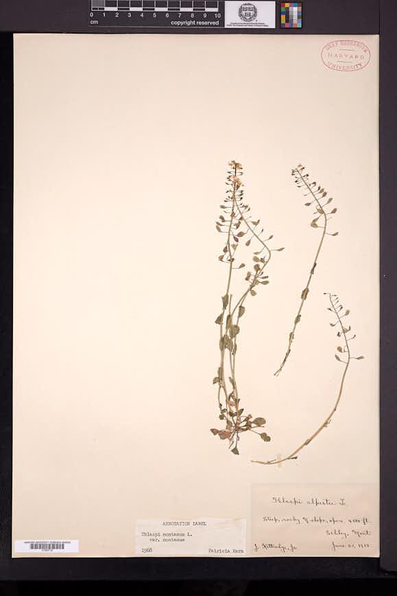 Noccaea fendleri image