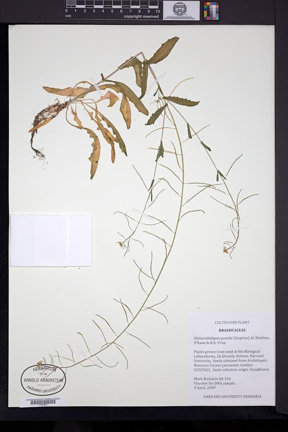 Image of Olimarabidopsis pumila