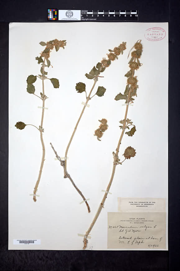 Marrubium vulgare image