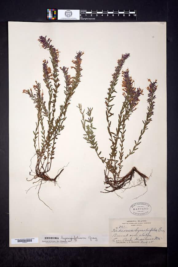 Hedeoma hyssopifolia image