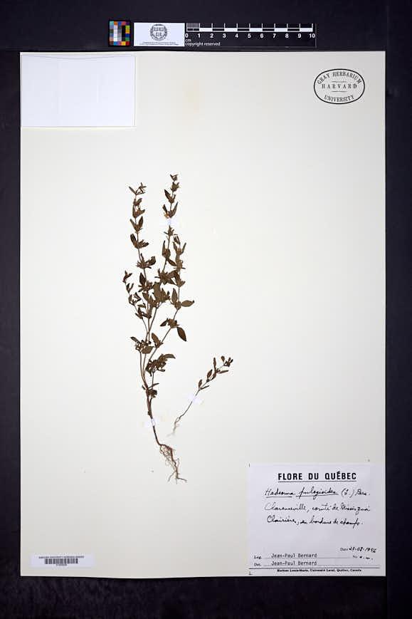Hedeoma pulegioides image