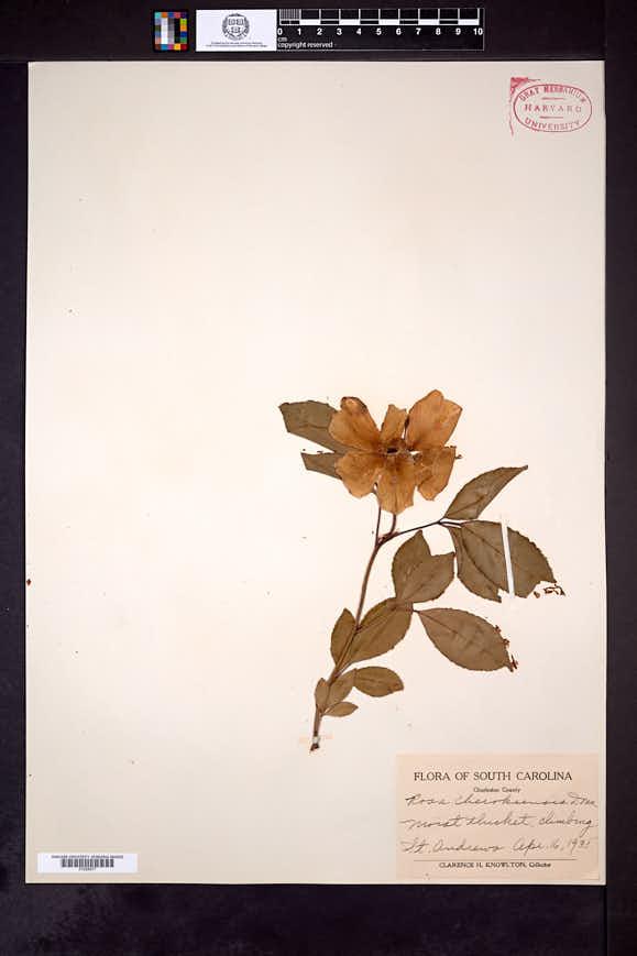 Rosa laevigata image
