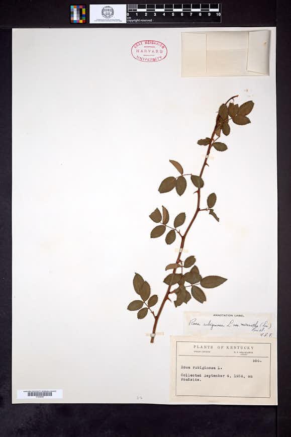 Rosa micrantha image