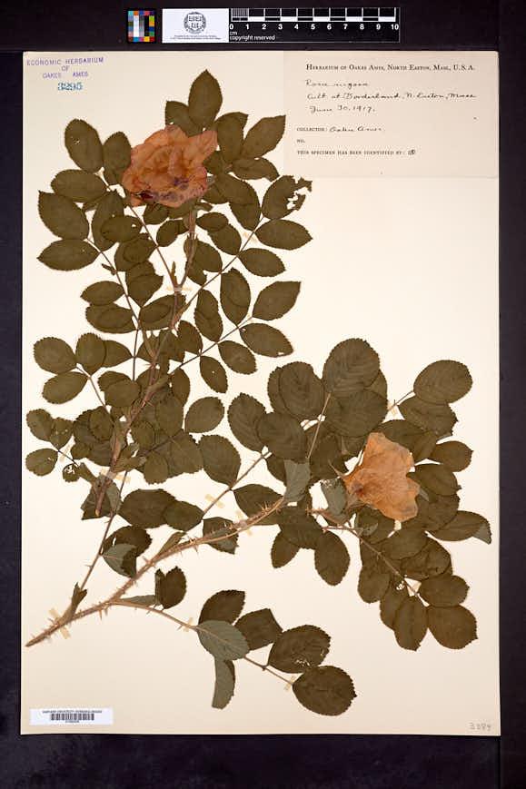 Rosa rugosa image