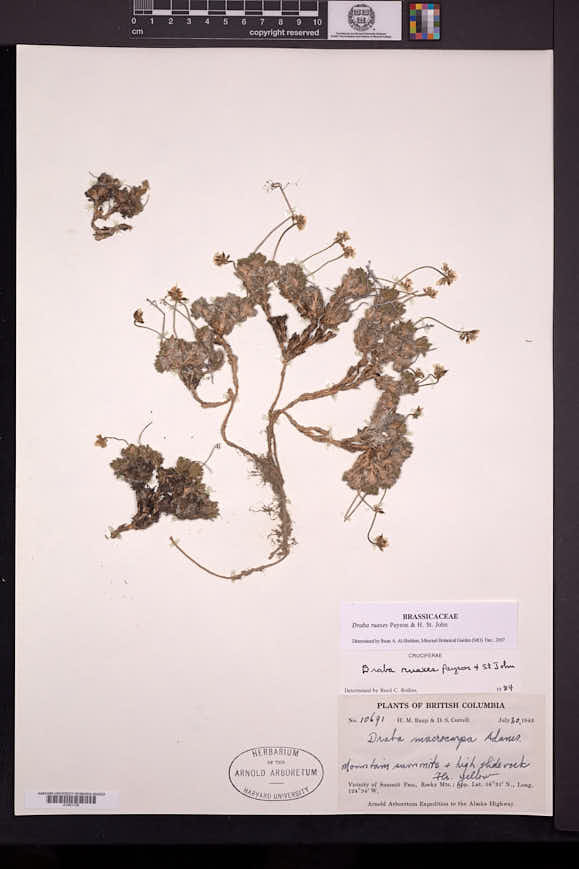 Image of Draba ruaxes