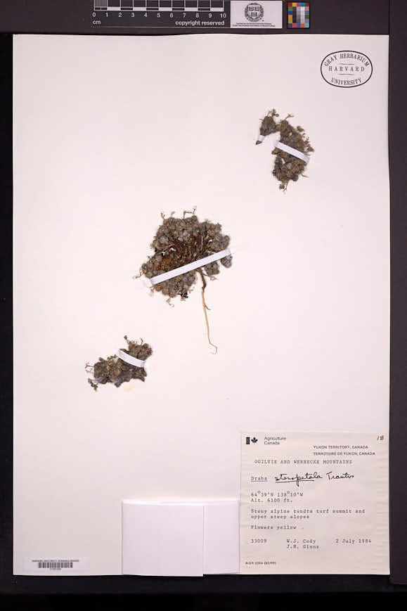 Image of Draba stenopetala