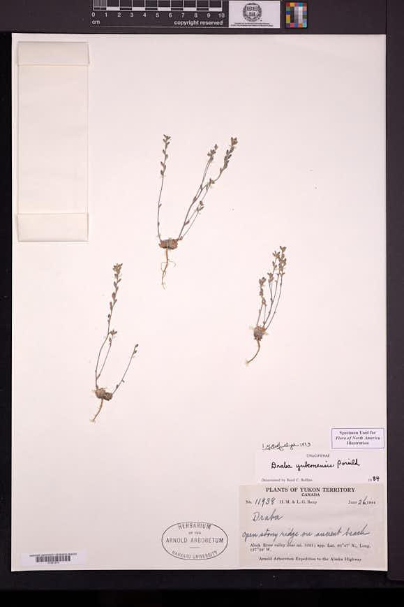 Image of Draba yukonensis