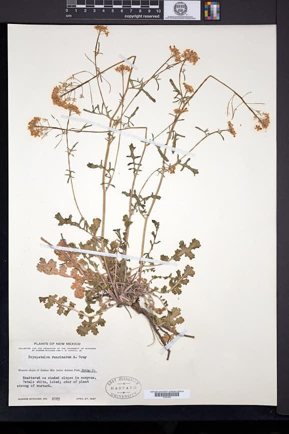 Dryopetalon runcinatum image