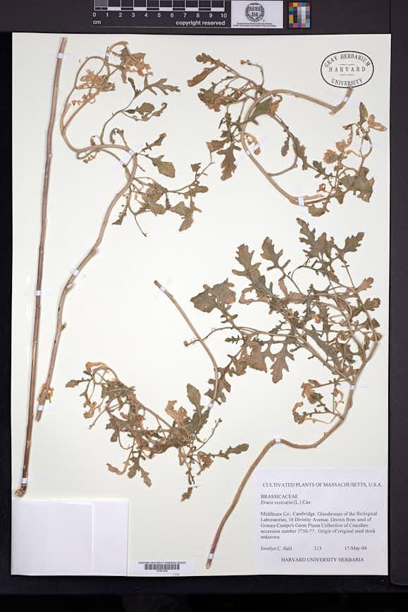 Eruca vesicaria image