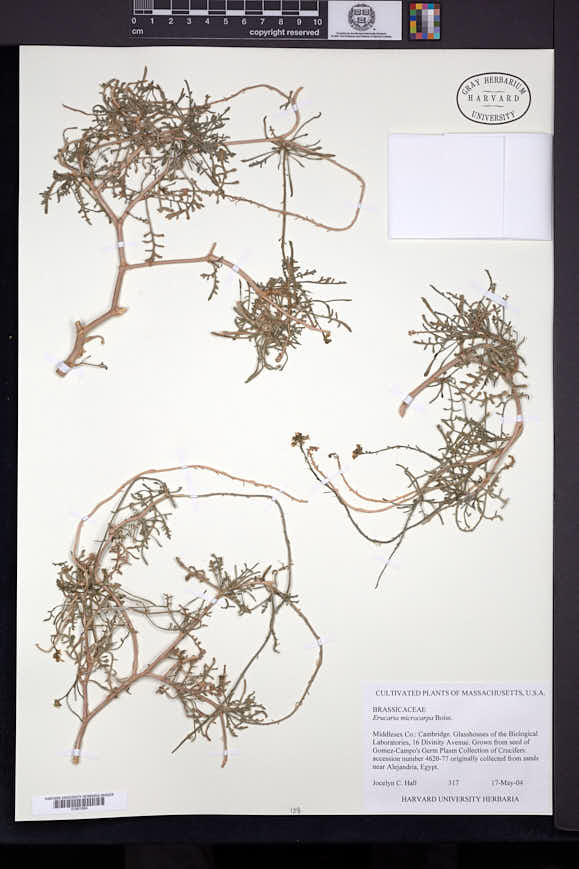 Image of Erucaria microcarpa