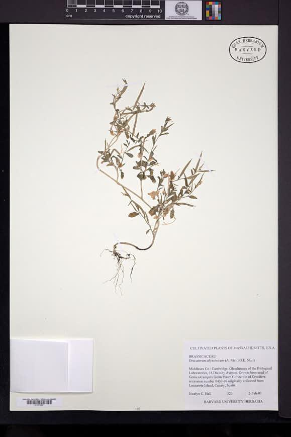 Image of Erucastrum abyssinicum