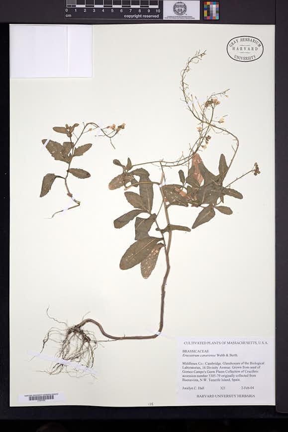 Image of Erucastrum canariense