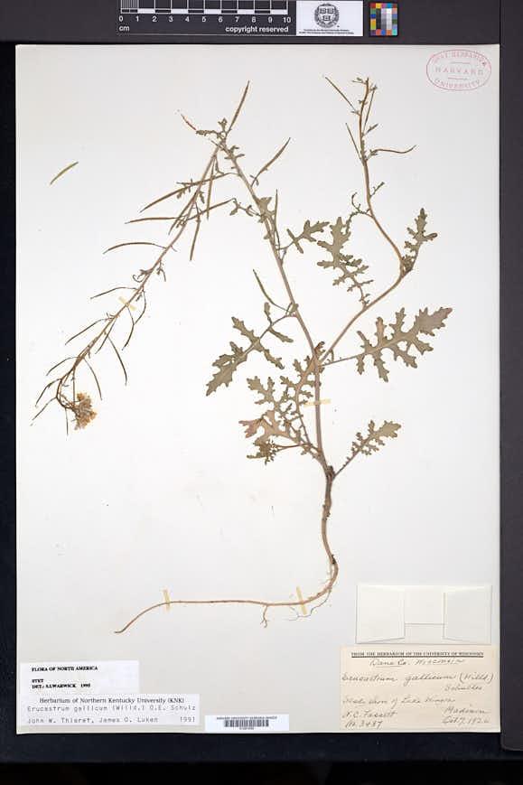 Erucastrum gallicum image