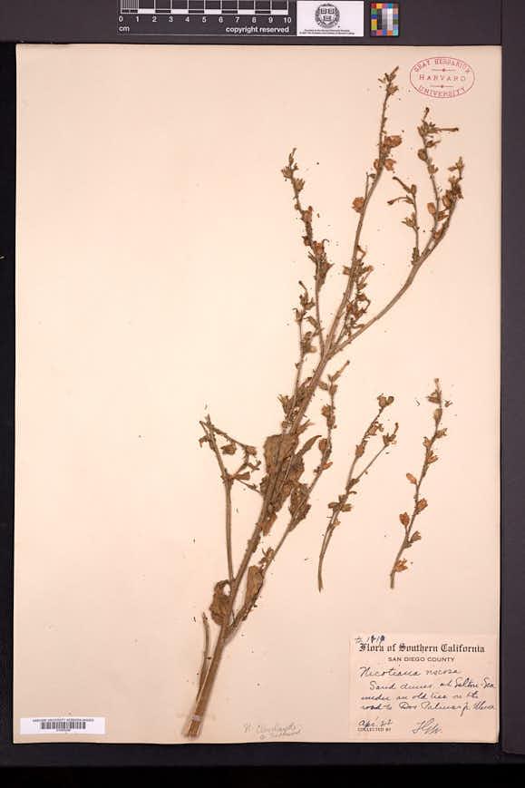 Nicotiana clevelandii image