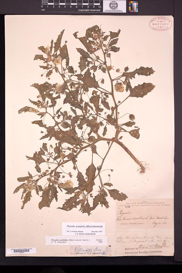 Physalis acutifolia image