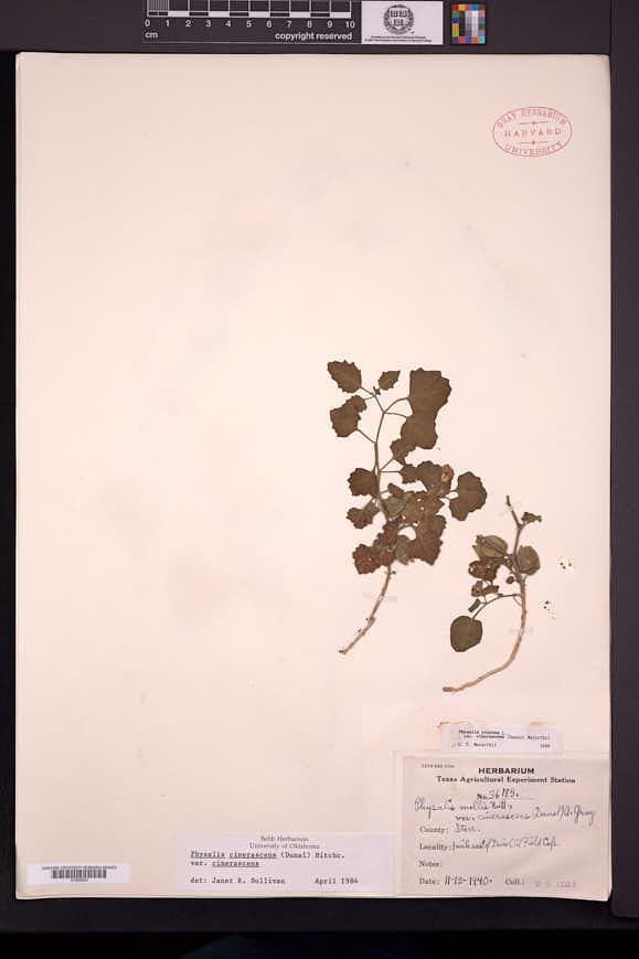 Physalis cinerascens image