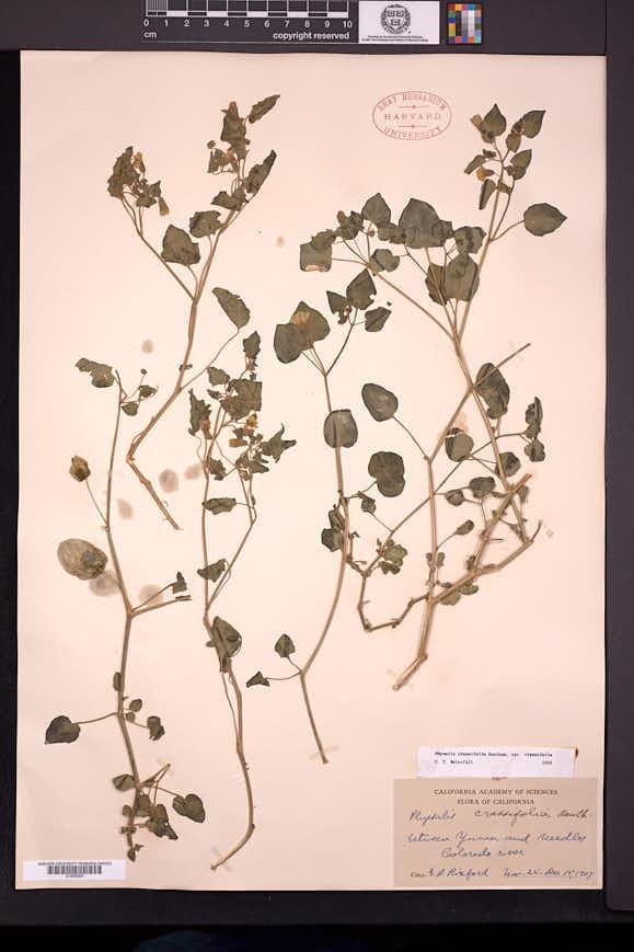 Physalis crassifolia image
