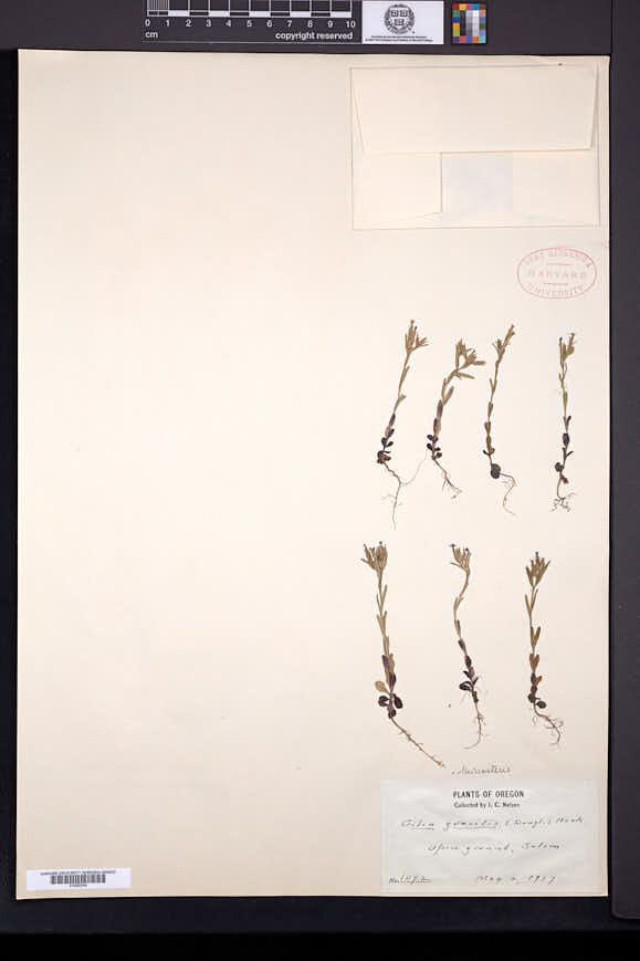 Phlox gracilis image