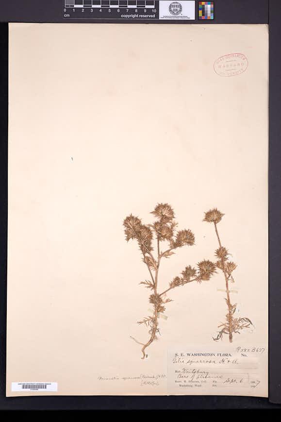 Navarretia squarrosa image