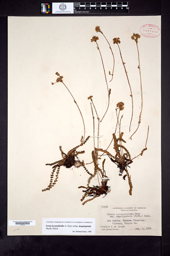 Ivesia lycopodioides subsp. megalopetala image