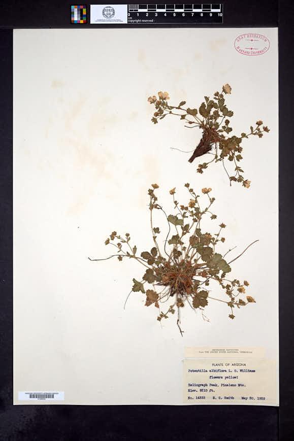 Potentilla albiflora image