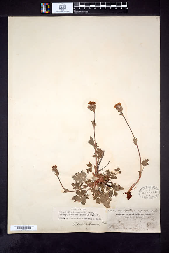 Image of Potentilla bruceae