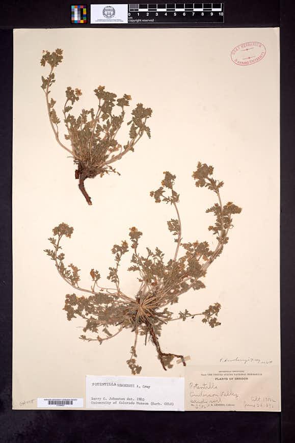 Potentilla newberryi image