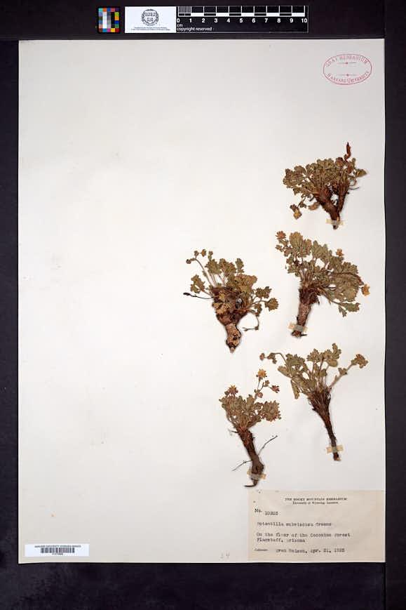 Potentilla subviscosa image