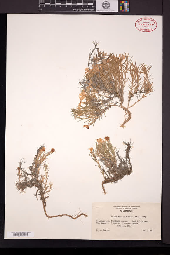 Phlox andicola image