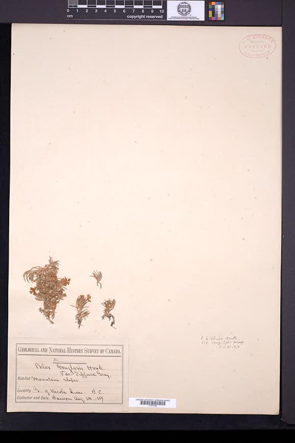 Phlox diffusa image