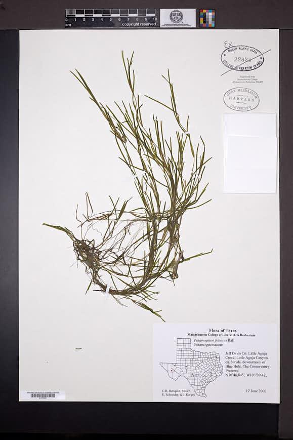 Potamogeton foliosus image