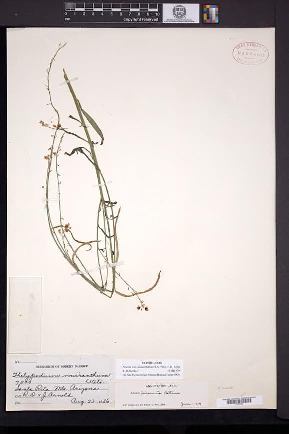 Pennellia tricornuta image