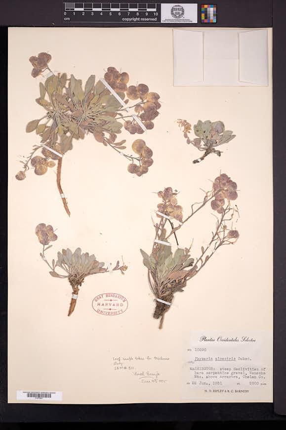 Physaria alpestris image