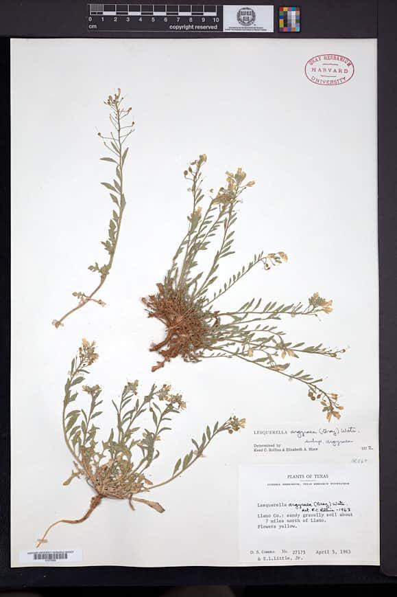 Physaria argyraea image