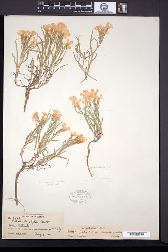 Phlox longifolia image