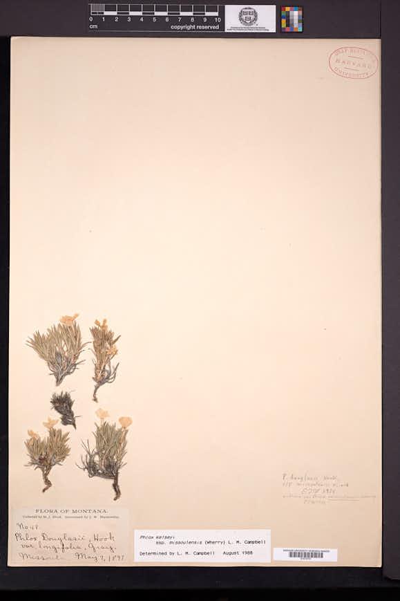 Phlox missoulensis image