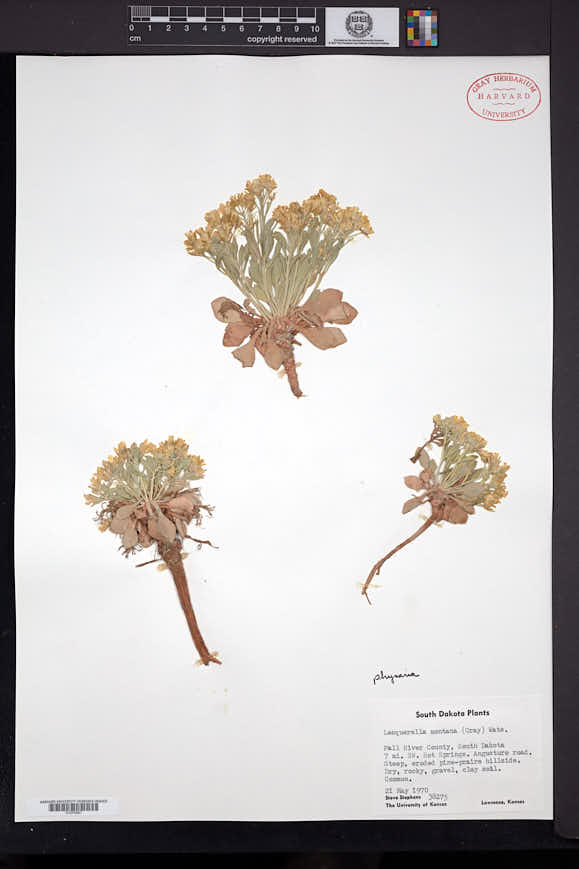 Physaria brassicoides image